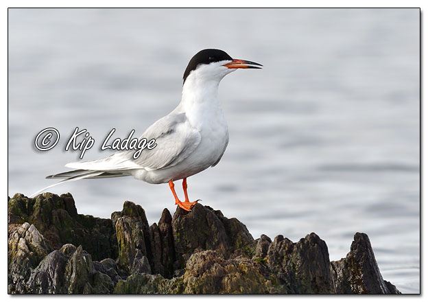 Forster's Tern at Sweet Marsh - Image 565212 (© Kip Ladage)