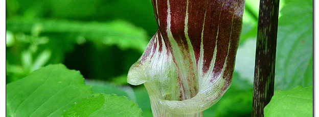 Pink Jack-in-the-Pulpit - Image 570945 (© Kip Ladage)