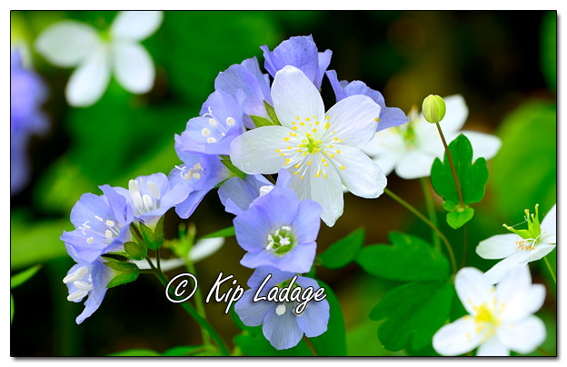 Jacob's Ladder and False Rue Anemone - Image 567848 (© Kip Ladage)