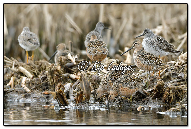 Long-billed Dowitchers at Sweet Marsh - Image 562787 (© Kip Ladage)