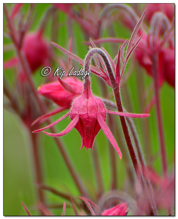 Prairie Smoke (Grandfather's Whiskers) - Image 568185 (© Kip Ladage)