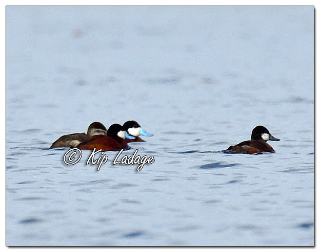 Ruddy Ducks at Sweet Marsh - Image 565436 (© Kip Ladage)