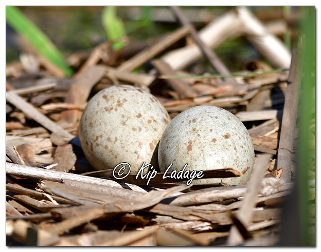 Sandhill Crane Nest With Two Eggs - Image 563109 (© Kip Ladage)