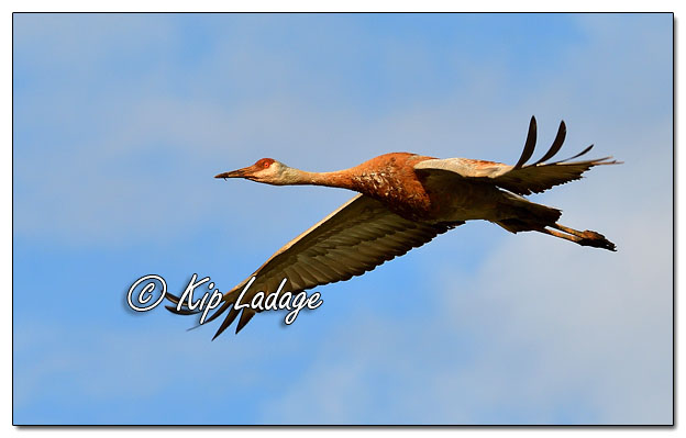 Sandhill Crane in Flight at Sweet Marsh - Image 565454 (© Kip Ladage)