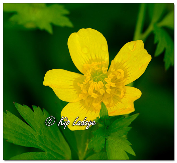 Swamp Buttercup - Image 568273 (© Kip Ladage)