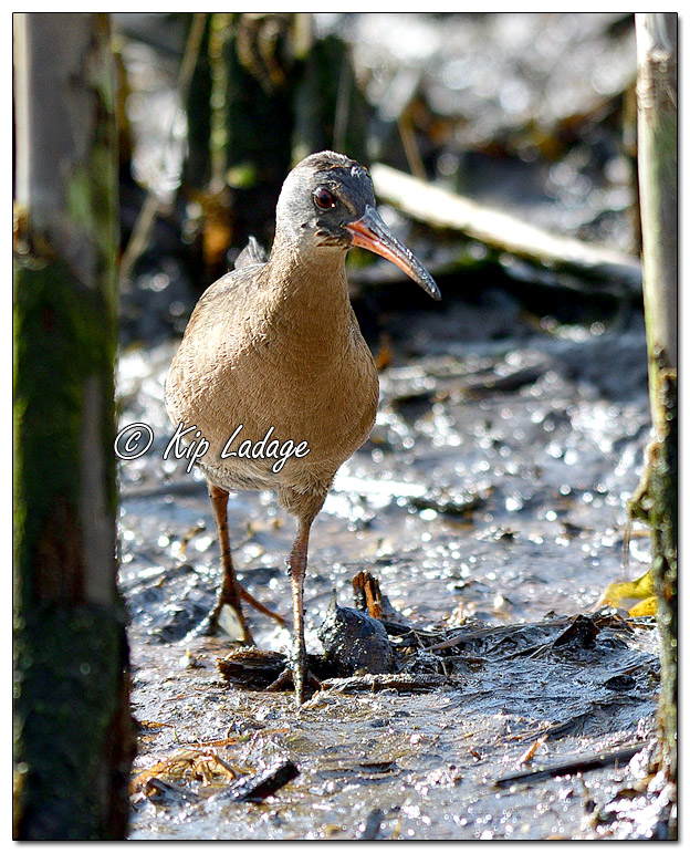 Virginia Rail at Sweet Marsh - Image 562758 (© Kip Ladage)