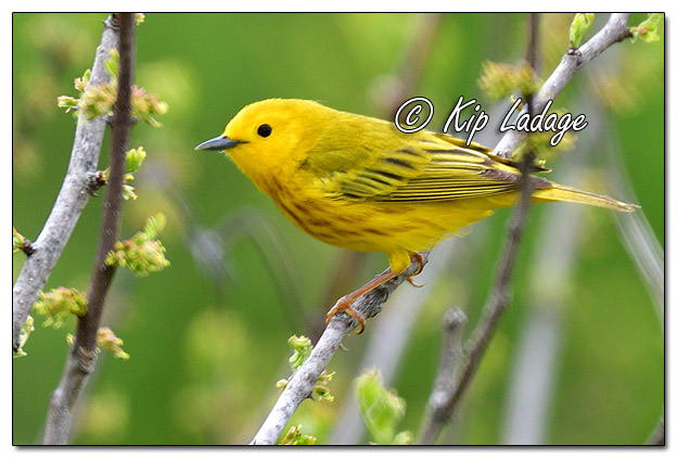 Yellow Warbler at Sweet Marsh - Image 564439 (© Kip Ladage)