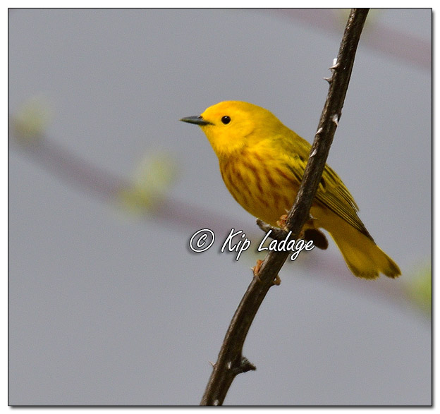Yellow Warbler at Sweet Marsh - Image 564445 (© Kip Ladage)
