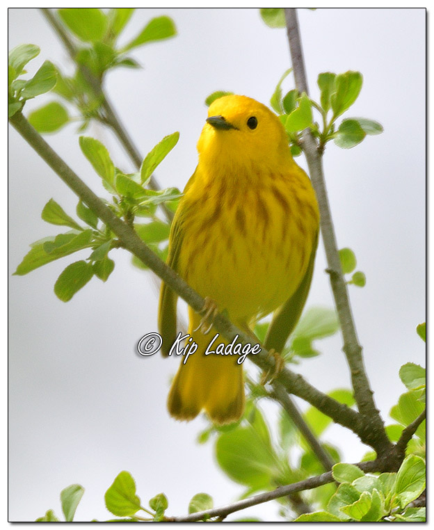 Yellow Warbler at Sweet Marsh - Image 564455 (© Kip Ladage)