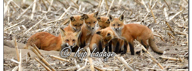 Young Red Fox at Den - Image 565748 (© Kip Ladage)