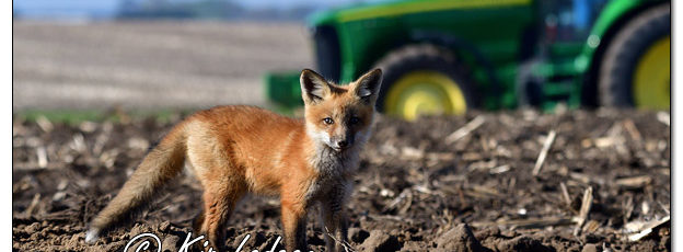 Young Red Fox at Den - Image 567143 (© Kip Ladage)