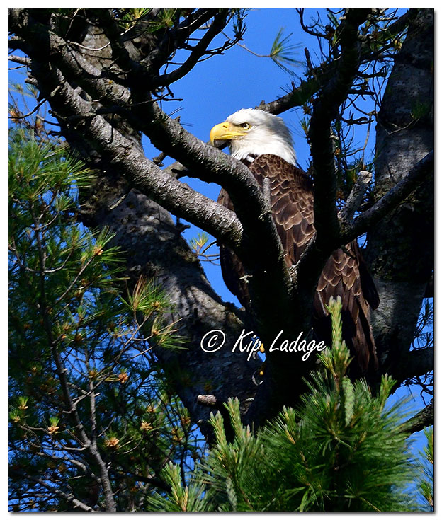 Adult Bald Eagle in Tree - Image 572376 (© Kip Ladage)