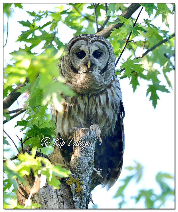 Barred Owl Along the Wapsipinicon River - Image 572168 (© Kip Ladage)