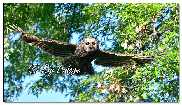 Barred Owl Along the Wapsipinicon River - Image 572169 (© Kip Ladage)