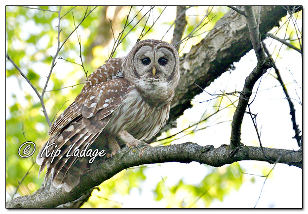Barred Owl Along the Wapsipinicon River - Image 572183 (© Kip Ladage)