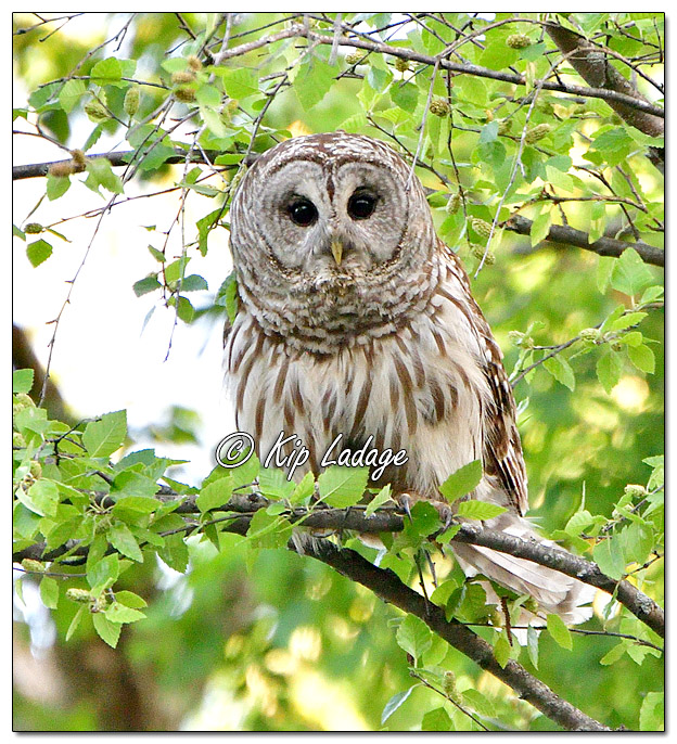 Barred Owl Along the Wapsipinicon River - Image 572253 (© Kip Ladage)