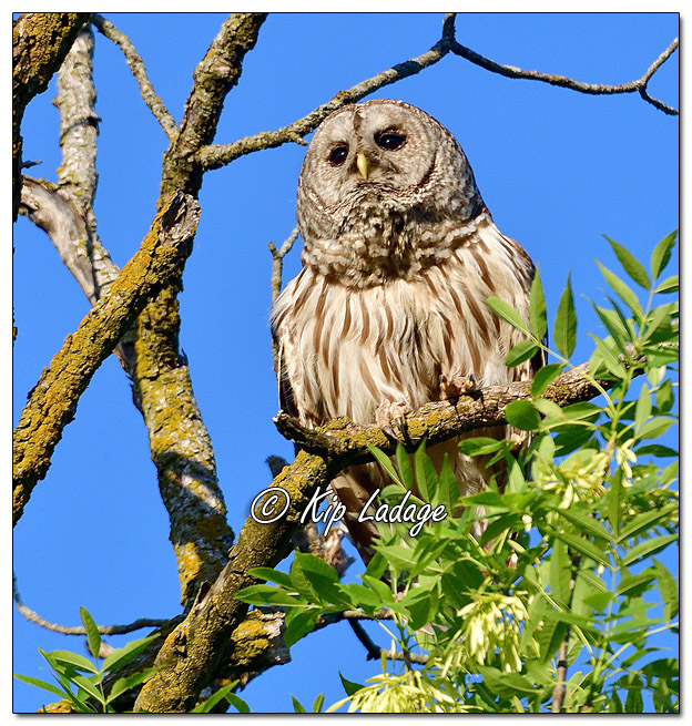 Barred Owl Along the Wapsipinicon River - Image 573262 (© Kip Ladage)