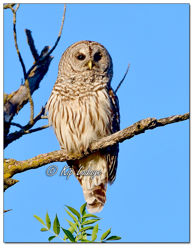 Barred Owl Along the Wapsipinicon River - Image 573449 (© Kip Ladage)
