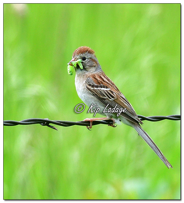 Field Sparrow with Green Grubs - Image 571685 (© Kip Ladage)
