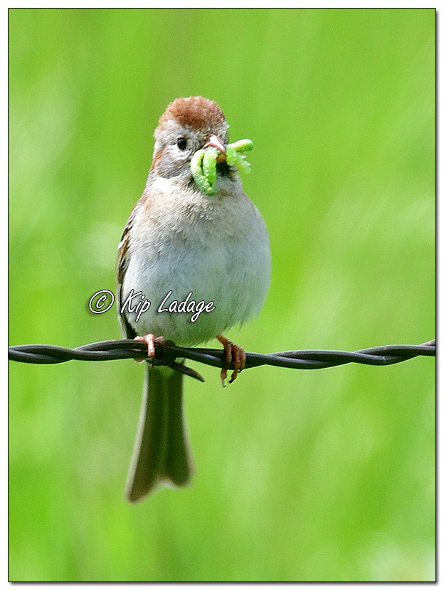 Field Sparrow with Green Grubs - Image 571707 (© Kip Ladage)