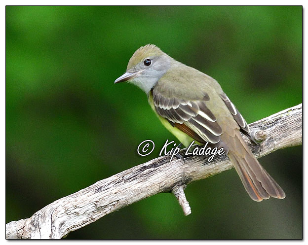 Great Crested Flycatcher - Image 571678 (© Kip Ladage)