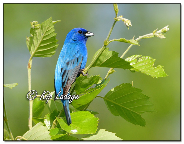 Indigo Bunting at Sweet Marsh - Image 573768 (© Kip Ladage)