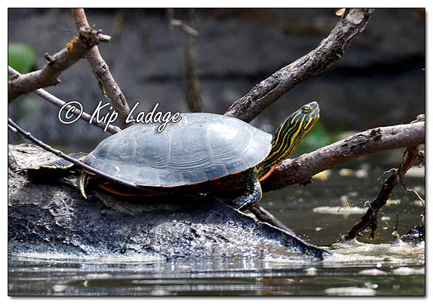 Painted Turtle Along the Cedar River - Image 572911 (© Kip Ladage)