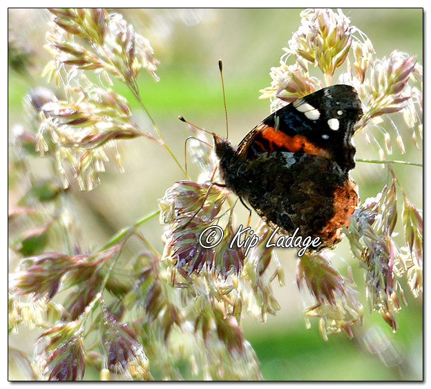 Red Admiral Butterfly on Dew-covered Grass - Image 571892 (© Kip Ladage)