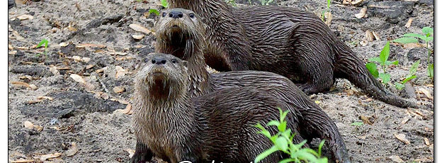 Young River Otters Along the Cedar River - Image 572941 (© Kip Ladage)