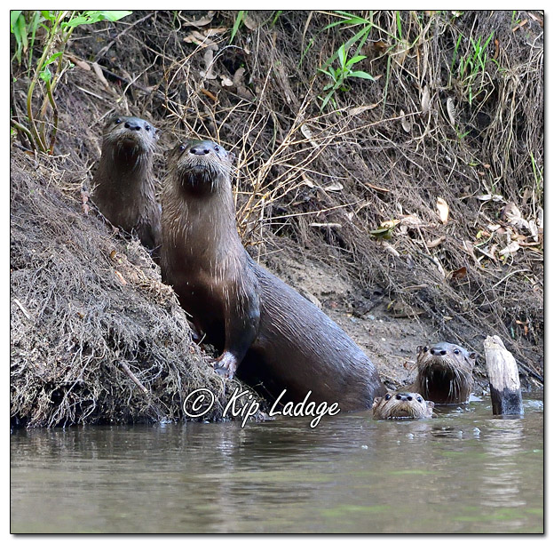 Young River Otters With Adult Along the Cedar River - Image 572965 (© Kip Ladage)