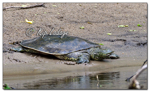 Softshell Turtle Along the Cedar River - Image 573010 (© Kip Ladage)