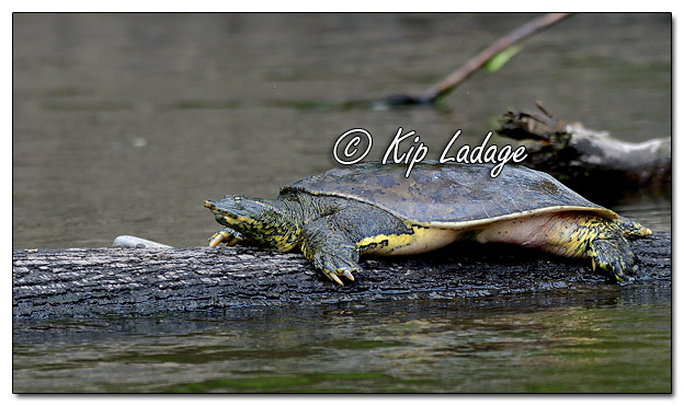 Softshell Turtle Along the Cedar River - Image 573019 (© Kip Ladage)