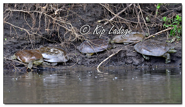 Softshell Turtles Along the Cedar River - Image 573032 (© Kip Ladage)