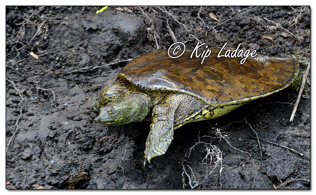 Softshell Turtle Along the Cedar River - Image 573068 (© Kip Ladage)