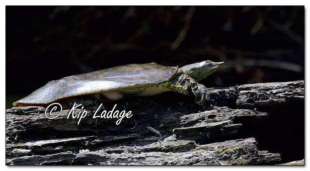 Softshell Turtle Along the Cedar River - Image 573119 (© Kip Ladage)