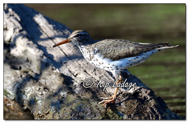 Spotted Sandpiper on Log - Image 572101 (© Kip Ladage)