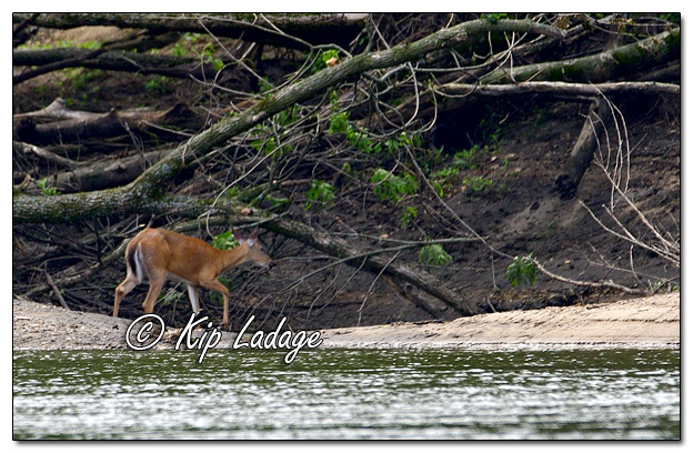 Whitetail Deer Along the Cedar River - Image 573139 (© Kip Ladage)
