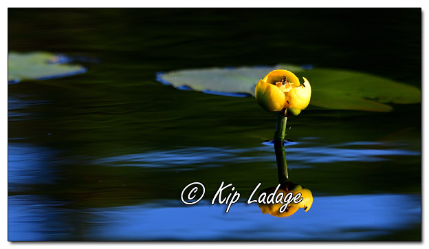 Yellow Water Lily in Fourtown Lake in Boundary Waters - Image 575818 (© Kip Ladage)