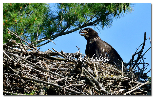 Young Bald Eagle in Nest- Image 572459 (© Kip Ladage)