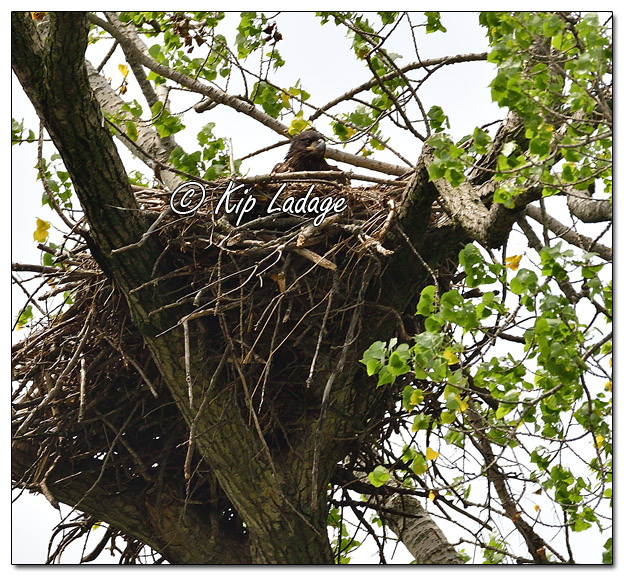 Young Bald Eagle in Nest Along the Cedar River - Image 573189(© Kip Ladage)