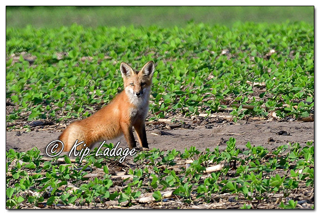 Young Red Fox at Den- Image 572353 (© Kip Ladage)