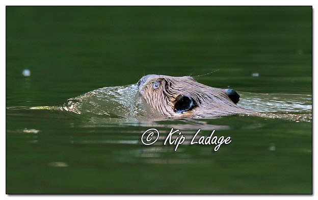 Beaver Swimming in Wapsipinicon River - Image 577633 (© Kip Ladage)