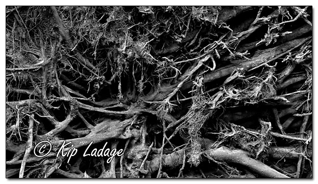 Exposed Tree Roots Under Toppled Tree - Image 580346-mono (© Kip Ladage)