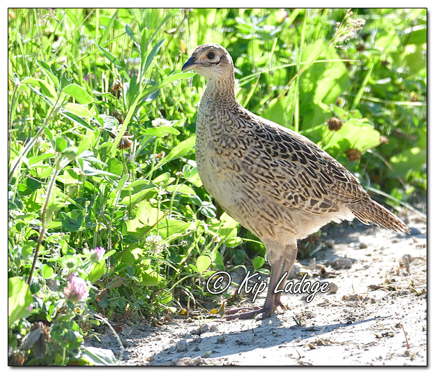 Hen Ring-necked Pheasant Along Gravel Road - Image 577276 (© Kip Ladage)