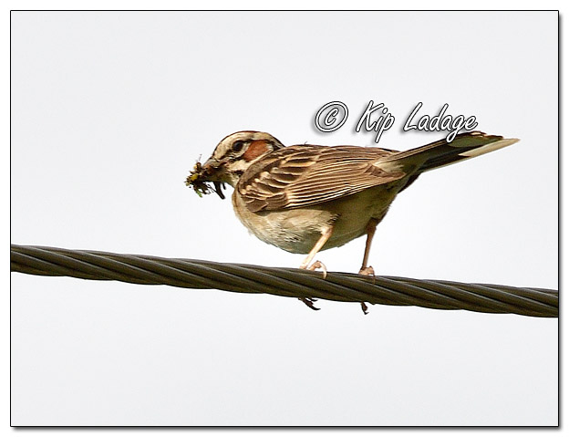 Lark Sparrow on Power Line - Image 579360 (© Kip Ladage)