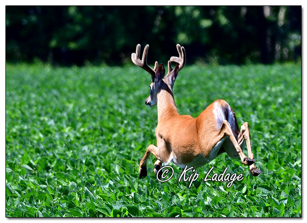 Whitetail Deer (Buck) in Velvet - Image 580551 (© Kip Ladage)