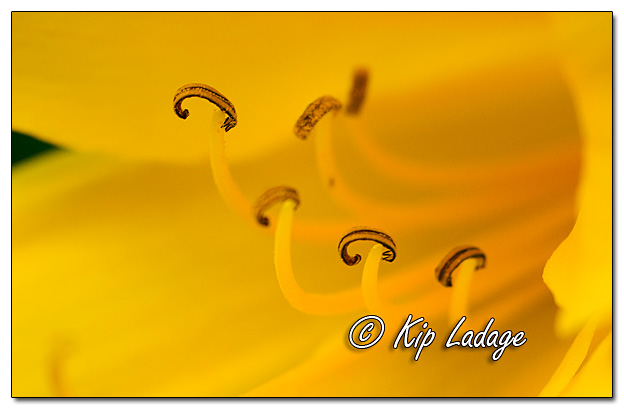 Yellow Lily Stamens that Look Like Bacon - Image 577690 (© Kip Ladage)