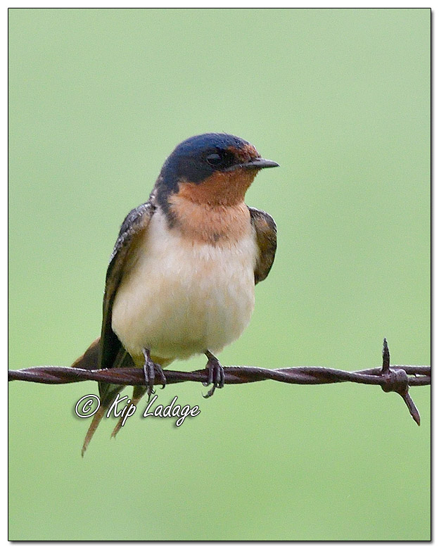 Adult Barn Swallow on Barbed Wire Fence - Image 581004 (© Kip Ladage)