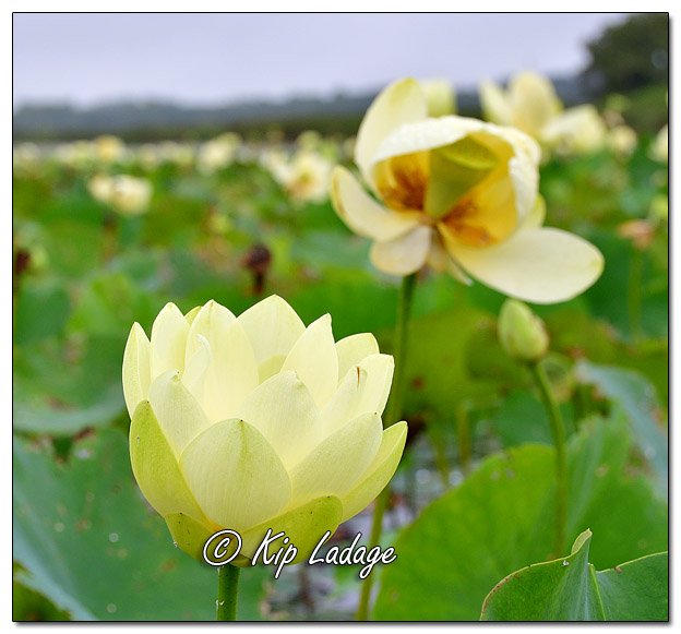 American Lotus at Sweet Marsh - Image 582126 (© Kip Ladage)