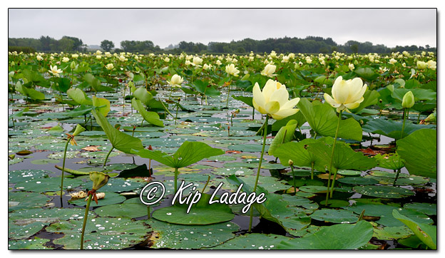 American Lotus at Sweet Marsh - Image 582140 (© Kip Ladage)